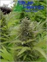 BlueHemp Switzerland NLB