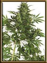 High Quality Seeds Original Big Bud Super Skunk