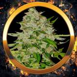 an introduction to the positive effects of cannabis sativa aka marijuana Cannabis sativa and cannabis indica are two of the main species of marijuana now, this is not about becoming some kind of hipster marijuana snob, it is just about learning to value the plant and selecting the strain that is most appropriate for the moment.