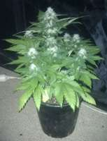 Imagen de gimboid25 (White Widow x Big Bud)