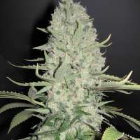 Imagen de north4 (White Widow x Big Bud)