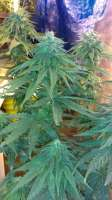 Imagen de New420Guy (Super Blue Dream)