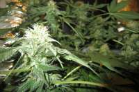 Pic for Blue Mistic (Royal Queen Seeds)