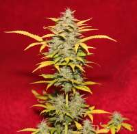 Pic for Cream Caramel Auto (Sweet Seeds)