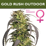 Gold Rush Outdoor the earliest flowering variety in our catalogue.