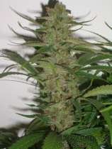 303 Seeds Snow Goddess