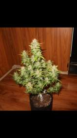 360grow420 Genetics AwesomeSauce Autoflower