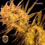 All-in Medicinal Seeds Benedicta