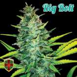 All-in Medicinal Seeds Big Bolt