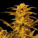 All-in Medicinal Seeds Destroyer Auto