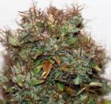 Baked Beans Cannabis Seeds Blue Berry Automatic