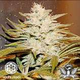 Bodhi Seeds Sunshine 4