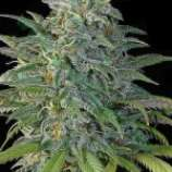 Bulk Seed Bank Big Bud