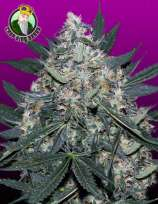 Crop King Seeds Black Indica