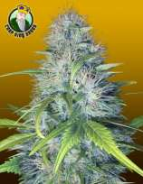 Crop King Seeds Early Miss