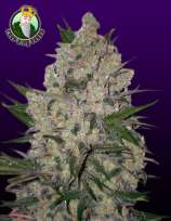 Crop King Seeds Zeus