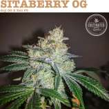 Cultivated Choice Genetics SitaBerry OG