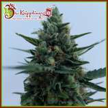 Dr. Krippling Seeds White Rush Auto