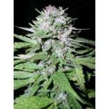 Dutch Quality Seeds Afghana