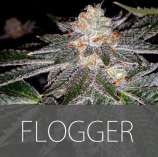 Exclusive Seeds Flogger