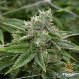 Flavour Chasers Stardawg