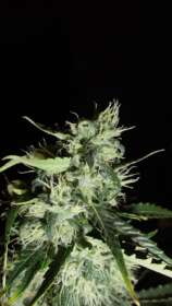 GreenLabel Seeds Automatic Widow