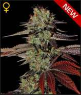 King\'s Kush Automatic
