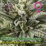 Growers Choice Superlarge Critical Blueberry Autoflowering