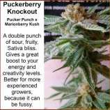 Kineos Genetics Puckerberry Knockout