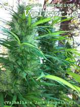 Love Genetics Valkyrie