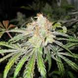 Medical Seeds Co. Deep Neville