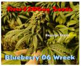 New420Guy Seeds Blueberry OG Wreck