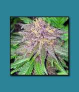 Quest Genetics Triple Purple Doja