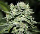 Rare Dankness Seeds TrainWreck Willie
