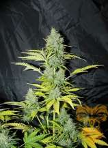 Real Gorilla Seeds Auto Blue-Tooth