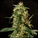 Rokerij Seeds Silver Haze