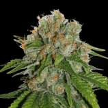 SeedStockers Amnesia