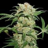 Thin Mint Crack Autoflower