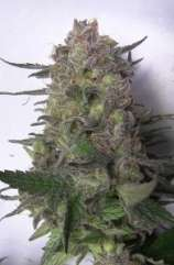 Seedism Seeds Super Sour Kush
