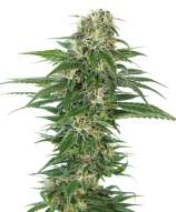 Sensi Seeds Early Skunk Automatic
