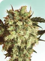 Sensi Seeds Marleys Collie