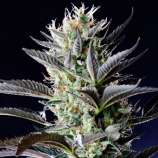 Spliff Seeds Dutch Blue Automatic