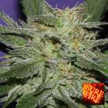 Sure Fire Seeds Bluedawg