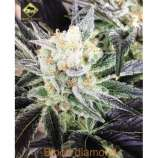 Swamp Donkey Seeds Blood Diamond