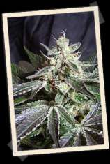 Sweet Seeds Black Jack F1 Fast Version