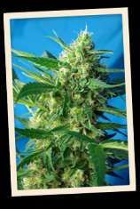 Sweet Seeds Ice Cool Auto