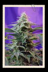 Sweet Seeds Sweet Special F1 Fast Version