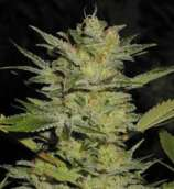 TH Seeds Heavy Duty Fruity