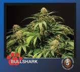 Bullshark