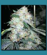 The Vault Seed Bank Triangle Kush on Fire
